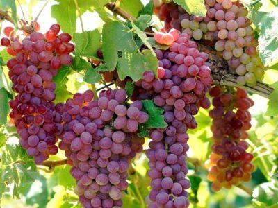 history and health benefits of raisins or sultana raisin