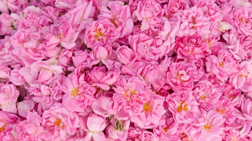 history and uses of rose water - is rose water edible ? what is rosewater ?